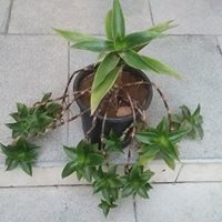 JERMANIA PLANT